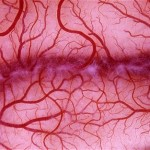 Blood_vessels_1817314c (2)