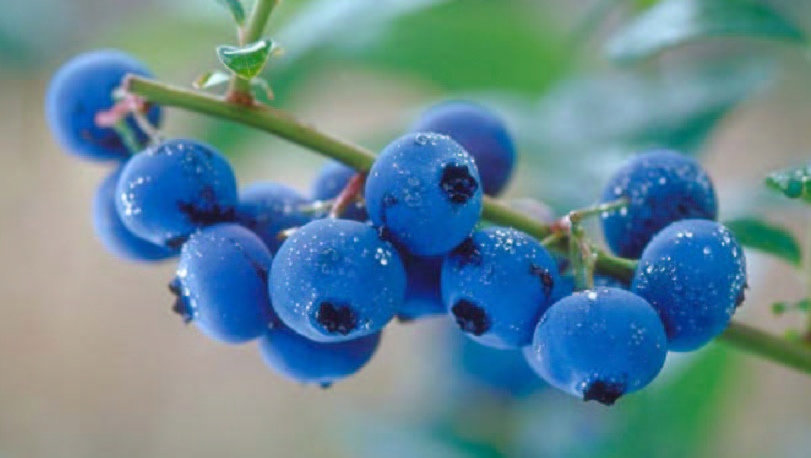 New research shows health benefits of wild blueberries for diabetics